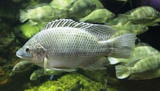 cara membudidaya ikan nila