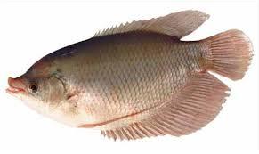 cara budidaya ikan gurameh